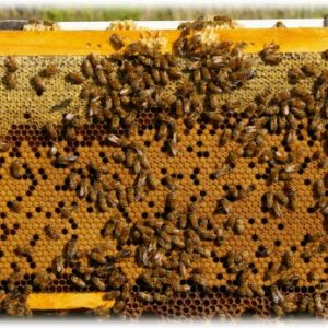 Timely Topics – Advanced Bee Biology – available after June 27