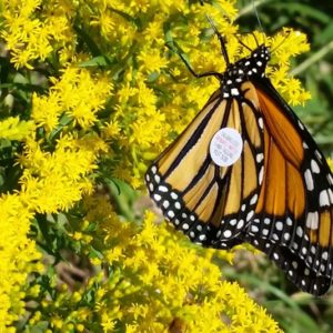 CANCELLED/RESCHEDUED  2019 Learn about MONARCH BUTTERFLIES! – Sun Jul 14th